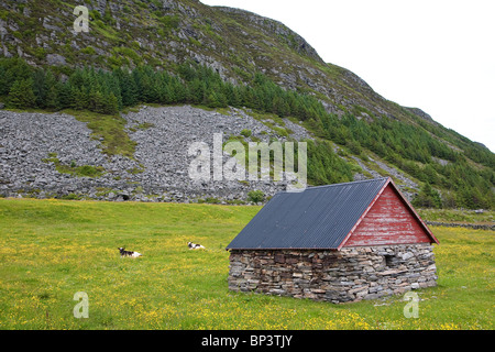 Cattle of the species Vestlandsk Fjordfe in grassy fields on the island Runde on the west coast of Norway. - Stock Photo