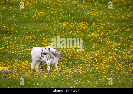 Calf of the species Vestlandsk Fjordfe in grassy fields on the island Runde on the west coast of Norway. - Stock Photo