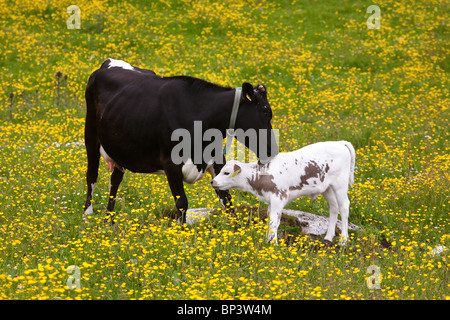 Mother and calf of the species Vestlandsk Fjordfe in grassy fields on the island Runde on the west coast of Norway. - Stock Photo