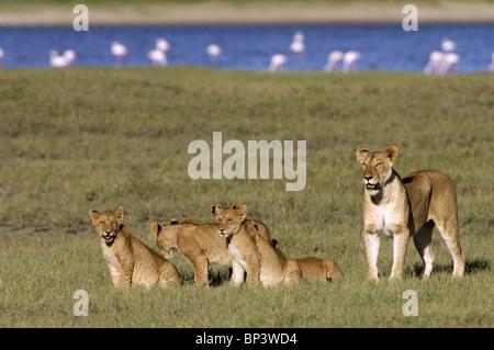 Lioness with cubs Panthera leo Lake Ndutu Ngorongoro Tanzania - Stock Photo