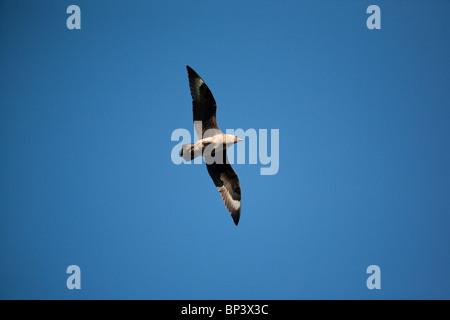 Great skua, Stercorarius skua, in flight above the bird sanctuary Runde island on the Atlantic west coast of Norway. - Stock Photo