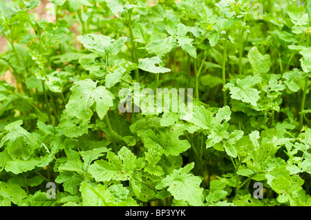 Mustard var. Zlata, sown as a green manure to improve soil fertility at Painswick Rococo Garden in the Cotswolds - Stock Photo