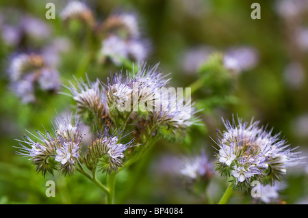 Phacelia tanacetifolia sown as a green manure to improve soil fertility but left to flower - Stock Photo