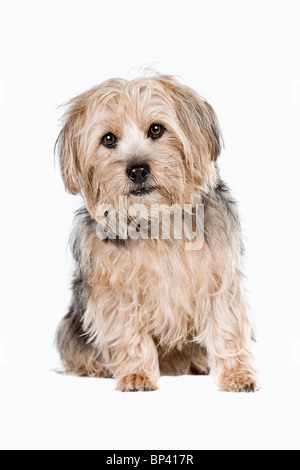 Studio Shot of a Cute Yorkshire Terrier against Light Background - Stock Photo