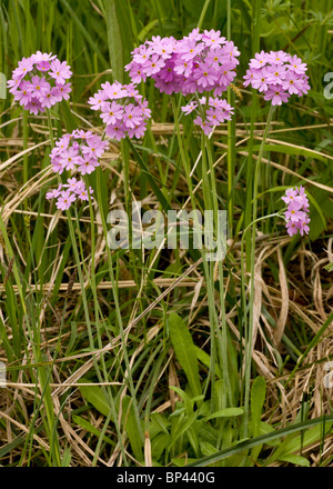 Bird's Eye Primrose, Primula farinosa in flower, Estonia - Stock Photo