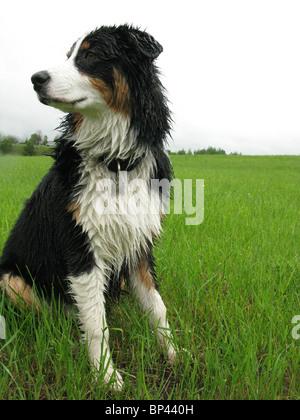 portrait of Australian shepherd sitting in tall  green grass - Stock Photo