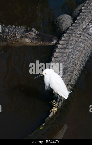 Snowy Egret fishing perched on Americana Alligator tail. - Stock Photo