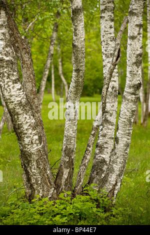 Coppiced Downy Birch trunks in Laelatu Wooded Meadow, Puhtu-Laelatu Reserve; West coast of Estonia - Stock Photo