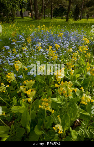 Masses of cowslips with Wood forget-me-not in flowery woodland clearing, Saarema, Estonia - Stock Photo