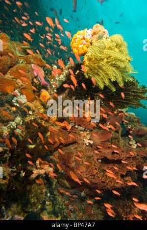 Anthias fish (Pseudanthias squamipinnis) Underwater Sea Life at Verde Island near Puerto Gallera, Philippines, SE - Stock Photo