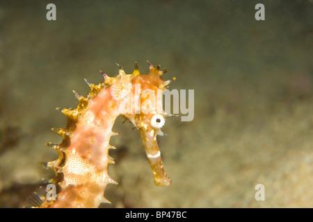 Thorny Seahorse (Hippocampus hystrix), Underwater Sea Life at Mindoro Island near Puerto Gallera, Philippines, SE - Stock Photo