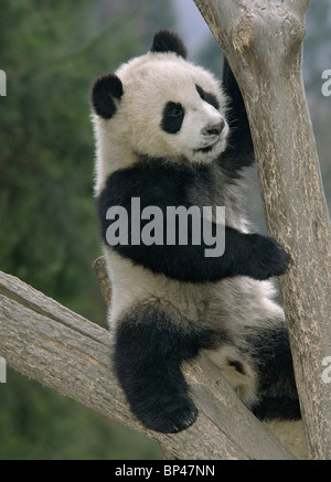 Young giant panda cub play in fork of tree Wolong China - Stock Photo