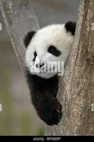 Young giant panda cub, in fork of tree Wolong China - Stock Photo