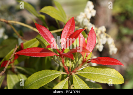 Shrub red leaves white flowers images flower decoration ideas shrub red leaves white flowers images flower decoration ideas flowers and red new leaves of pieris mightylinksfo Images