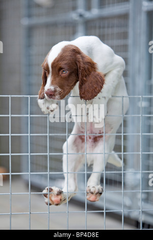 A liver and white English Springer Spaniel puppy climbing up and over the wire fence of its kennel - Stock Photo