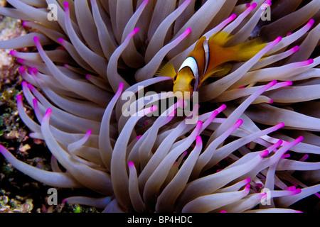 Clown anemonefish, Amphiprion percula, Tuamotus, French Polynesia, Pacific Ocean