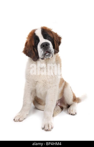 Curious Saint Bernard Puppy Sitting Down With Head Tilted in Studio Shot - Stock Photo