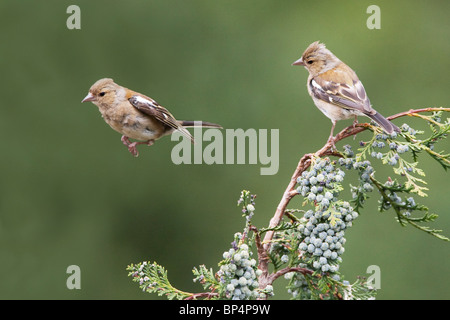 Two Chaffinches (Fringilla Coelebs) in West Sussex. Jack Moon Photography - Stock Photo