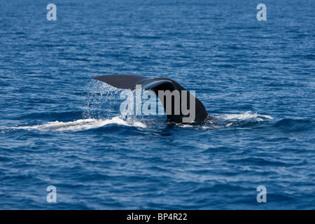 Sperm Whale, Cachalote, Pottwal, Physeter macrocephalus, Sri Lanka South coast diving and fluking - Stock Photo