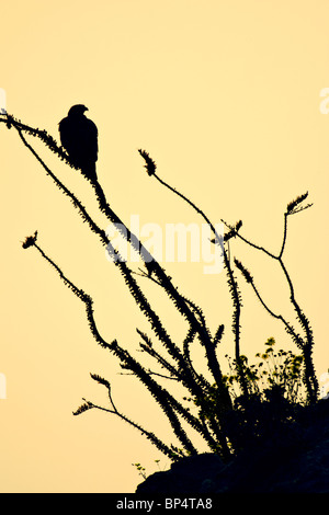 Red-tailed hawk perched in Ocotillo - vertical silhouette - Stock Photo