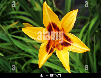 Hemerocallis 'Bonanza'  day lily lilies yellow flower flowers garden plant plants - Stock Photo