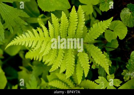 Beech Fern, Phegopteris connectilis (= Thelypteris phegopteris) in shady woodland. - Stock Photo