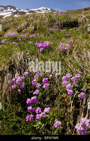 Mass of Bird's Eye Primrose, Primula farinosa in the Swiss Alps. - Stock Photo