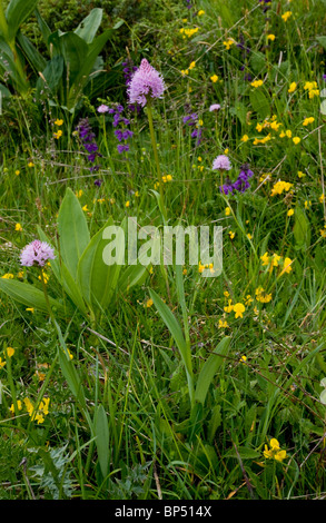 Globe-flowered Orchids in flowery grasslands on the slopes of Monte Baldo, Italy. - Stock Photo
