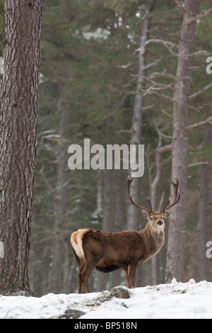 Red Deer (Cervus elaphus). Stag in pine forest in winter, Cairngorms National Park, Scotland. - Stock Photo
