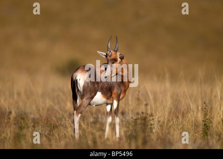 Male Blesbok Baby Portrait, Malolotje, Swaziland - Stock Photo