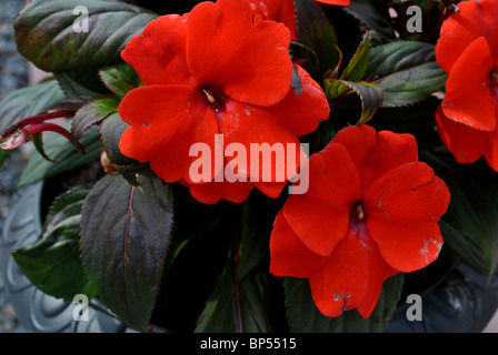 close up of a beautiful red busy lizzie - Stock Photo