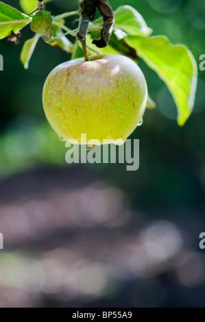 Malus domestica. 'Ellisons Orange' Apple on a tree - Stock Photo