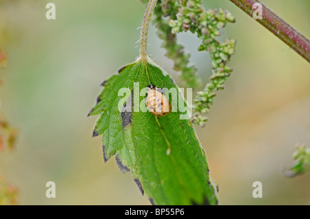 Pupa of Harlequin ladybird (Harmonia axyridis succinea)  on Common Stinging Nettle, Urtica dioica. - Stock Photo