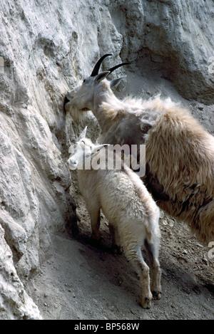 Mountain Goat Nanny and Kid (Oreamnos americanus) grazing at Mineral Lick, Yoho National Park, BC, British Columbia, - Stock Photo