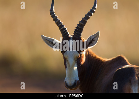 Male Blesbok Portrait, Malolotje, Swaziland - Stock Photo