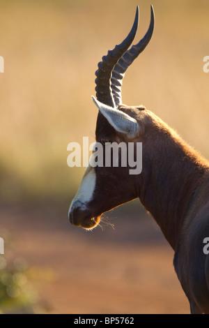 Male Blesbok Portrait, Malolotje, Swaziland - Stock Photo