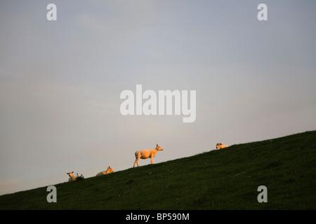 Sheep at sundown on bank near Husum - Stock Photo