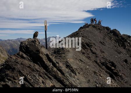 A New Zealand alpine parrot the Kea near the summit of Avalanche Peak, Arthur's Pass, New Zealand. - Stock Photo