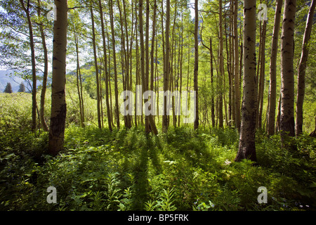 Backlit Aspen Trees and forest groundcover, Maroon Bells Snowmass Wilderness Area, White River National Forest, - Stock Photo