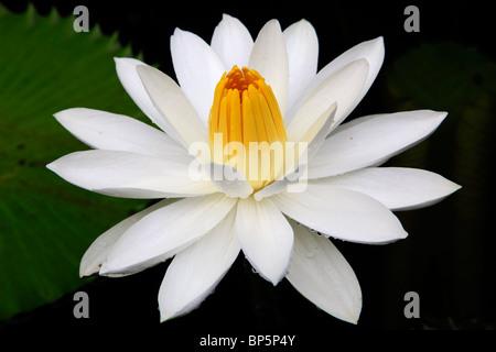 Indonesia, Java, near Borobodur, lotus flower,
