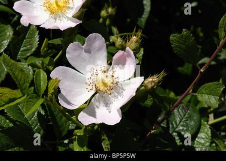 Dog rose (Rosa canina) flowers - Stock Photo