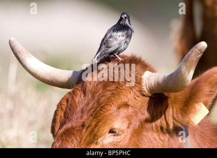 Spotless Starling Sturnus unicolor looking for food on large cow Tarifa Spain - Stock Photo