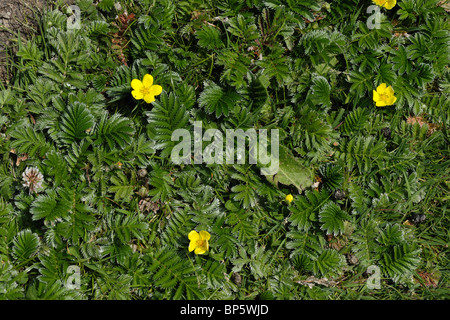 A carpet of silverweed plants (Potentilla anserina) some flowering on the Dorset coast - Stock Photo