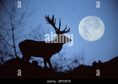 AR80H6 European Red Deer, Rothirsch Cervus elaphus, Europe - Stock Photo