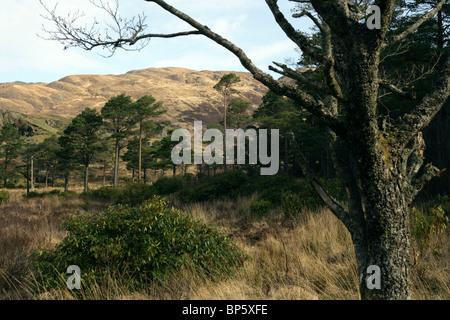 Scots Pine trees Pinus sylvestris near Lochailort Scotland - Stock Photo