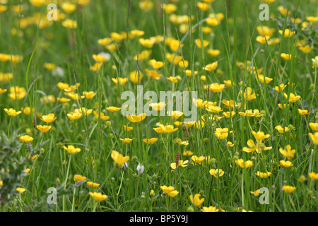 Buttercups in a Wild Flower Hay Meadow in Teesdale County Durham - Stock Photo