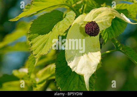 Dove Tree (Davidia involucrata var. vilmoriniana). Twig with leaves and inflorescence with bracts. - Stock Photo
