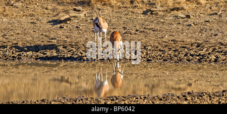 Two Springbuck at the water hole with reflection in the water in a panoramic shot - Stock Photo