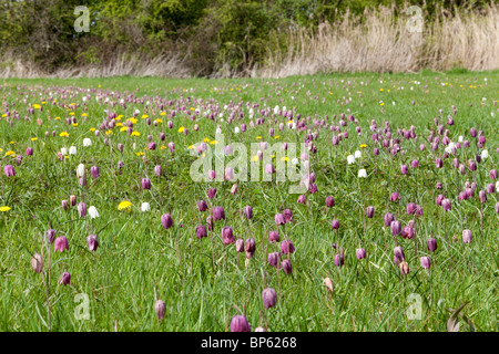 Snakes Head Fritillaries at North Meadow, Cricklade National Nature Reserve, Cricklade, Wiltshire - Stock Photo