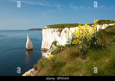 Sea Cabbage on the tops of the chalk cliffs by Old Harry near Poole on the Dorset coast, Uk - Stock Photo